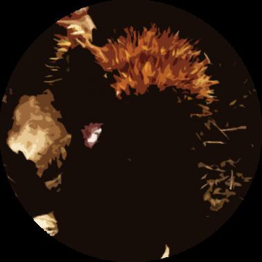 Wild Chestnut